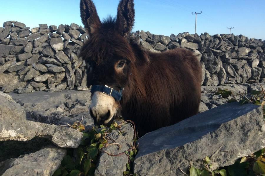 Inishmaan animals by the stone walls on Aran Islands fro Doolin Ferries